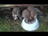 Енот кушает! Енот ест хлопья с молоком, ныряя в миску с головой