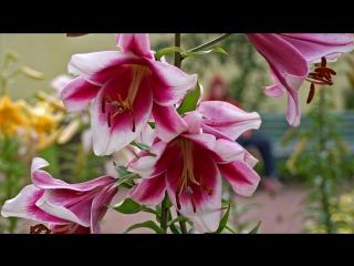 «ЛИЛИИ ДЛЯ... ВСЕХ !» под музыку Александр Айвазов - А я в пруду для Лилии сорвал три белых лилии (2003). Picrolla