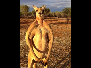 Роджер: кенгуру- качок, который сминает железные ведра(brawny kangaroo Roger)