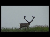 Дикий северный олень.  Кроноцкий заповедник. © Георгий Начаркин