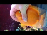 Ручная аквариумная рыбка очень любит ласку