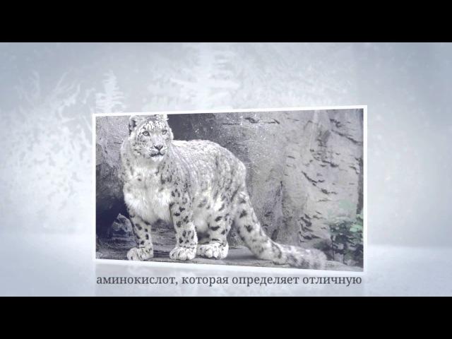 Фото животных Красной книги России Снежный барс