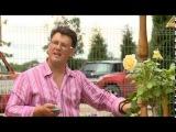 Штамбовые розы. Розовое настроение. Выпуск 3