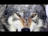 ПЕСНЯ - ОДИНОКИЙ ВОЛК  Блатной Удар - Одинокий волк  Лучший Хит Шансона  Лучшая п...