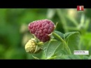 Все о ремонтантной малине от Аллы Чамата (Дача, 19.09.2015, Беларусь-1)
