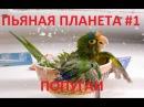 Пьяные в дым попугаи - подборка. Попугайчики, Смешные попугаи, приколы с попугаями.