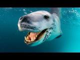 Морской леопард Самые опасные животные  Морской мир документальные фильмы HDTVRip720p