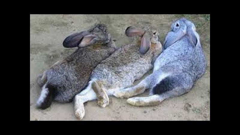 Mating rabbits mating, courtship!! Спаривание кроликов случка, брачные игры