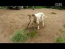 Собачьи бои бразильская фила vs аргентинский дог