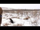Охота с ягдтерьерами на лису