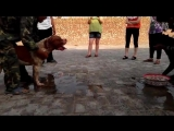 Собачьи бои американский бульдог vs кане корсо