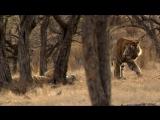 Тайная жизнь хищников / Secret Life of Predators / 4 серия / В лесах