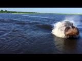 Бегемот догоняет моторную лодку