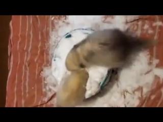 Хорьки бесятся в чашке снега