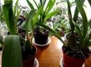 Орхидея Камбрия. Уход. Подпишись на орхидеи Ванда, Мильтония, Дендробиум, Цимбидиум, Пафиопедилум.