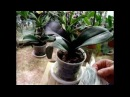 Болезни орхидей - 1. Орхидеи - Фалинопсис, Ванда, Мильтония, Дендробиум, Камбрия, Ц ...