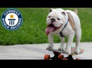 Otto the skateboarding bulldog Guinness World Records