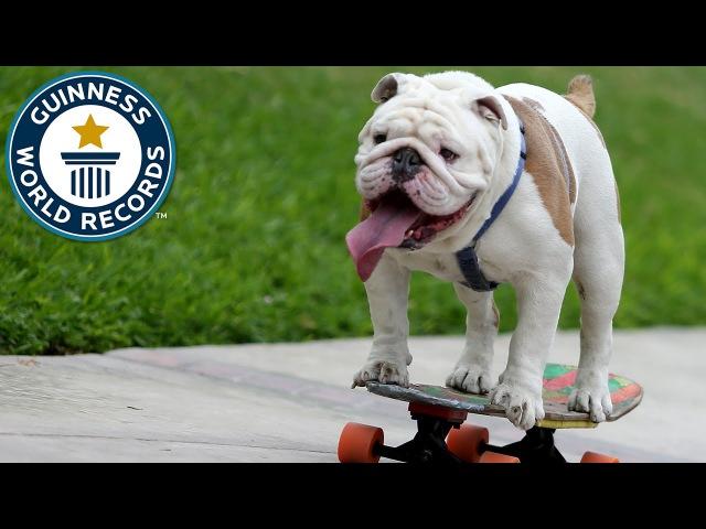 Otto the skateboarding bulldog , Lima Peru - Guinness World Records