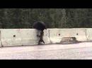 Медведица спасает медвежонка, застрявшего на дороге