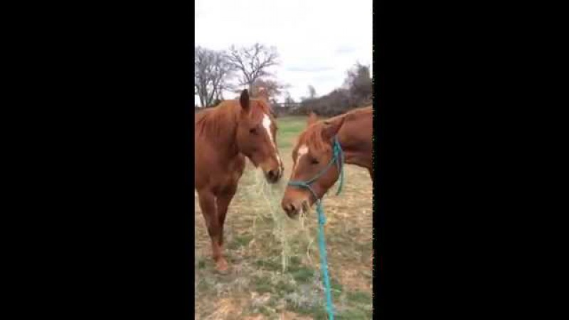 Layla's sweet boyfriend T bringing her a bite of hay to eat and giving her kisses