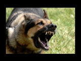 Top 10 Biggest Guard Dogs in the World ! Caucasia - Kangal - Rotweiler- Pitbull -