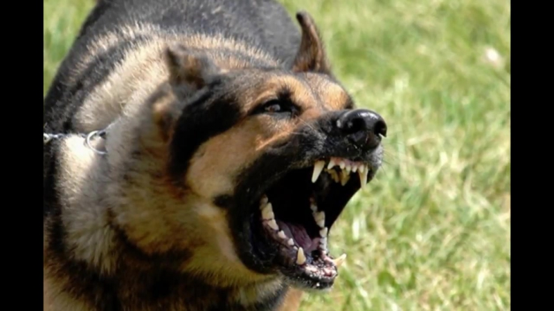 Top 10 Biggest Guard Dogs in the World Caucasia Kangal Rotweiler Pitbull