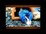 Голубые раки жрут креветок и лягушек в аквариуме  Blue crabs  in the aquarium