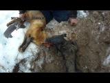 охота на лису с ягдтерьером 16.02.2014г