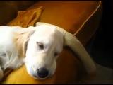 Собака подпевает во сне