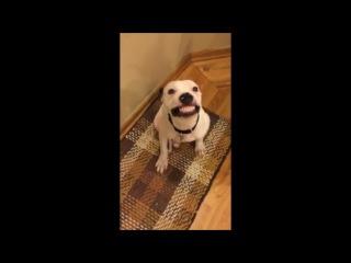 США. Пес с голливудской улыбкой (12.01.2016 г.)