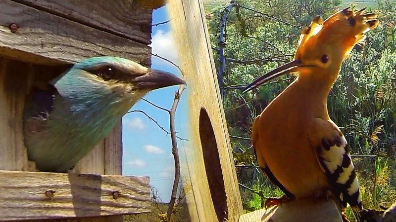Nest box for birds: hoopoe and european roller. » Freewka.com - Смотреть онлайн в хорощем качестве