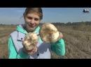 Как растут настоящие грибы шампиньоны в поле Краснодарского Края Как мы собирали грибочки