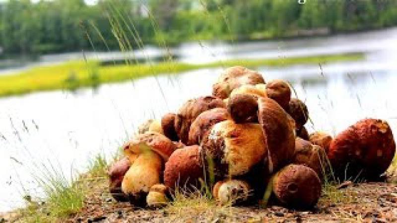 Turism Karelia! Forest, porcini mushrooms, boletus edulis and berries (watch free photos)!