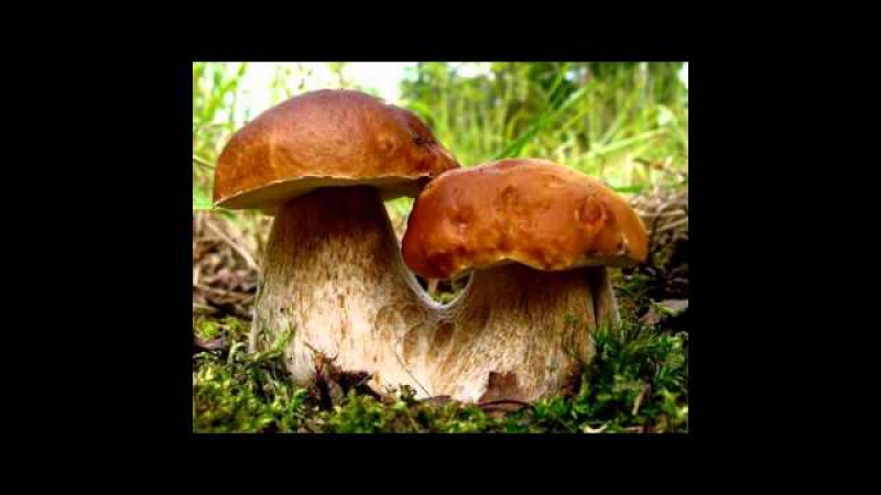 Mushrums boletus edulis - белые грибы (супер фото)