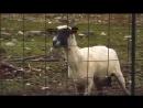 22. - Овца кричит.