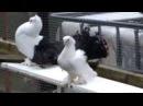 Nordkaukasische,Positurtümmler.Статные голуби 2014