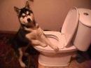 Собака друг человека ХАСКИ чистильщик