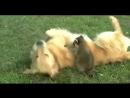 Смешные еноты,  до слез ! Подборка смешных видео о енотах  2016 года #1. Супер ржачные еноты YouTube