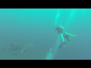 Китовая Акула на Чумпхоне 2015.11.15 Видео 6