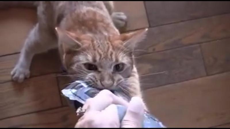 Упертый кот