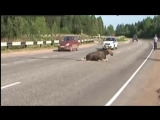 Животное Лось на Дороге