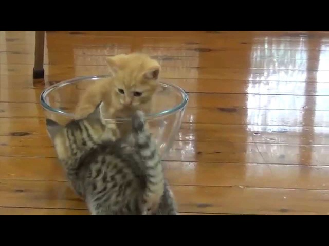 Funny cat videos - baby kittens in a glass bowl