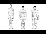 Типы телосложения: эктоморф, мезоморф, эндоморф. Генетика человека
