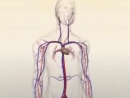 Анатомия человека без слов