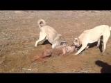 Kangal  Kurdu parçalıyor