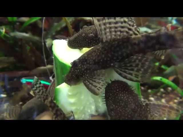 Antennenwelse fressen Gurke im 200 Liter Aquarium ancistrus dolichopterus