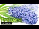 Гиацинт уход после цветения в домашних условиях / Care after flowering hyacinth at home