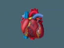 Строение и работа сердца человека