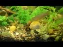 Channa orientalis-змееголов восточнйый голубой