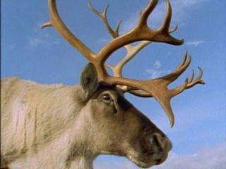 Твои весёлые друзья-зверята.Сериал для детей из 26 серий. 5 серия. Северный олень.